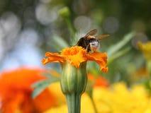 Paardevlieg op gele bloem Royalty-vrije Stock Afbeeldingen