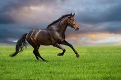 Paardgalop op een groen gras stock afbeelding
