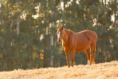 Paardgebied Royalty-vrije Stock Foto's