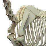 Paardhals/Schouderblad - de Anatomie van Paardequus - op wit wordt geïsoleerd dat vector illustratie
