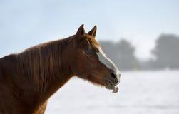 Paardhoofd met uit tong Royalty-vrije Stock Fotografie