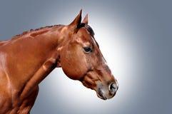 Paardhoofd poritrait Royalty-vrije Stock Afbeelding