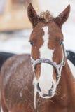 Paardhoofd in sneeuw Stock Foto's