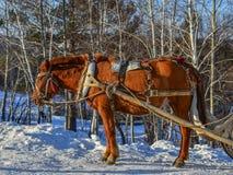 Paardkar die op sneeuwweg lopen royalty-vrije stock foto