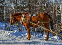 Paardkar die op sneeuwweg lopen stock foto's