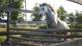 Paardlooppas op het zand en sprongen door een barrière Opleiding van wit weinig poney de langzame motie, sluit omhoog stock videobeelden