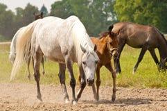 Paardmerrie met een veulen bij een stal Stock Foto