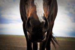 Paardneus Stock Foto's