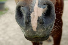 Paardneus/mond Royalty-vrije Stock Foto