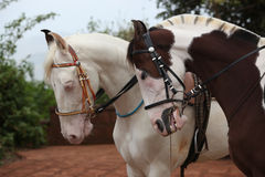 Paardpaar Stock Foto's