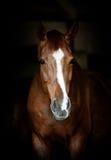 Paardportret royalty-vrije stock afbeelding