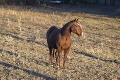Paardportret tijdens de zonsondergang Royalty-vrije Stock Foto's