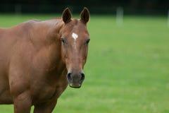 Paardprofiel Royalty-vrije Stock Afbeeldingen