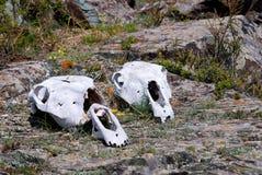 Paardschedel Stock Afbeeldingen