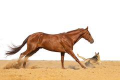 Paardsprongen op zand op een witte achtergrond royalty-vrije stock afbeeldingen