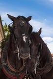 Paardtederheid Royalty-vrije Stock Fotografie