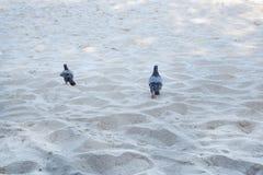 Paarduif die op zandstrand loopt in de ochtend stock foto
