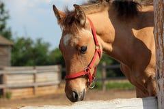 Paardveulen in nagellandbouwbedrijf Royalty-vrije Stock Foto's