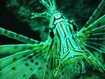 Paardvissen in aquarium royalty-vrije stock afbeelding