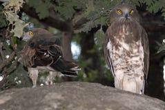 Paare Adler Stockfoto