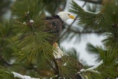 Paare Adler in einem Baum Lizenzfreie Stockfotografie
