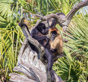 Paare Affen im Treibholz Stockfotografie