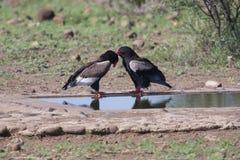 Paare bateleur stehend an einem waterhole mit Umwerbung Stockfotos