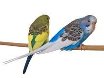 Paare Budgerigar auf weißem Hintergrund Stockfotografie
