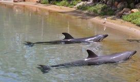 Paare Delphine auf Ufer Lizenzfreies Stockfoto