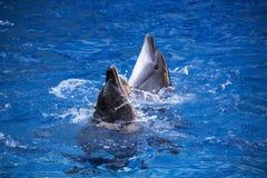 Paare Delphine, die im blauen Wasser schwimmen Lizenzfreies Stockfoto