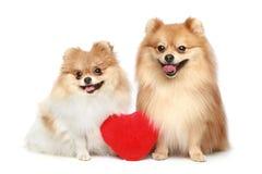 Paare in den Liebe Spitzwelpen auf weißem Hintergrund lizenzfreies stockbild