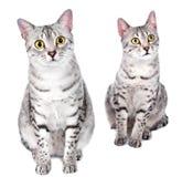 Paare der ägyptischen Mau Katzen Stockfoto