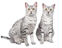 Paare der ägyptischen Mau Katzen Lizenzfreies Stockbild