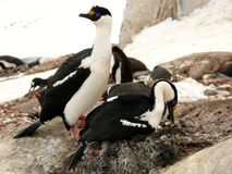 Paare der blauäugigen Noppen, die in Antarktik verschachteln Lizenzfreie Stockfotografie