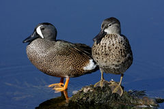 Paare der Blau-winged Knickente Stockfoto
