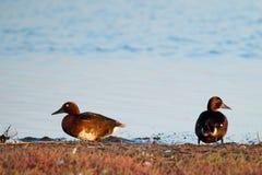 Paare der eisenhaltigen Ente Stockfoto