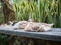 Paare der Ente Stockfoto