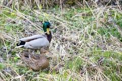 Paare der Ente nahe kleinem Nebenfluss Lizenzfreie Stockfotos