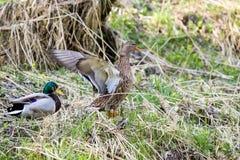 Paare der Ente nahe kleinem Nebenfluss Stockfotos
