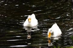 Paare der Enten lizenzfreie stockfotos