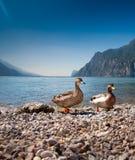 Paare der Enten Lizenzfreie Stockfotografie