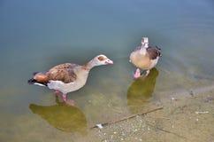 Paare der Enten Stockbilder