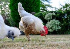 Paare der erwachsenen kleinen Hennen, die das Weiden lassen für Lebensmittel auf einem Rasen, gesehen während der Sommerzeit sehe Stockfotos