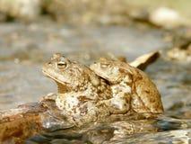 Paare der Frösche im Wasser im Frühjahr Lizenzfreies Stockbild