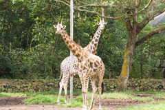 Paare der Giraffe stockfoto