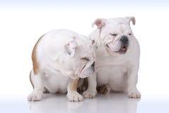 Paare der Glatt-behaarten englischen Bulldogge Stockbild