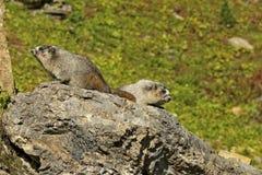 Paare der grauhaarigen Murmeltiere auf einem Felsen Stockfotos