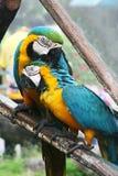 Paare der großen Papageien Lizenzfreie Stockfotografie