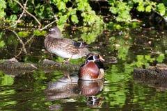 Paare der hölzernen Ente Stockfotos