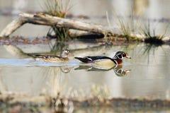 Paare der hölzernen Ente auf einem Morgenschwimmen Stockbilder